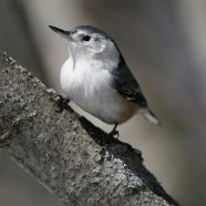 Project Feeder Watch: White-breasted Nuthatch – March 12