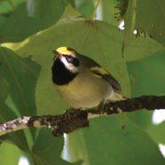 Restoring Golden-winged Warbler Habitat