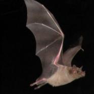 Appalachian Bat Count